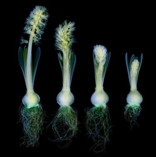 flores rayos x