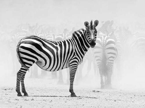 animales blanco negro